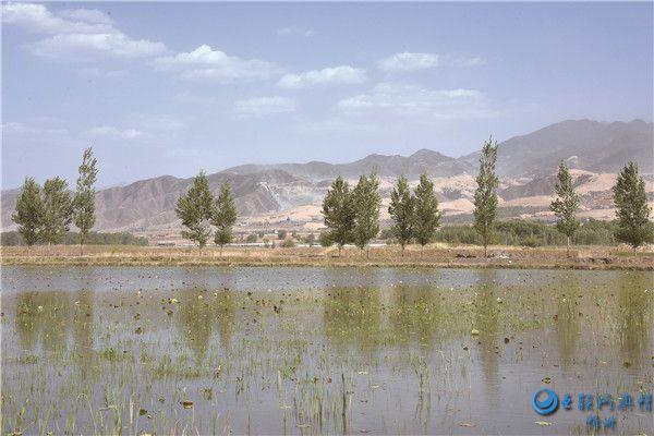 代县枣林镇整修道路绿化植树助推千亩荷花种植项目实施