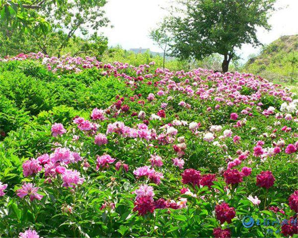 山西定襄:凤凰山生态植物园牡丹花绽放 游人如潮涌