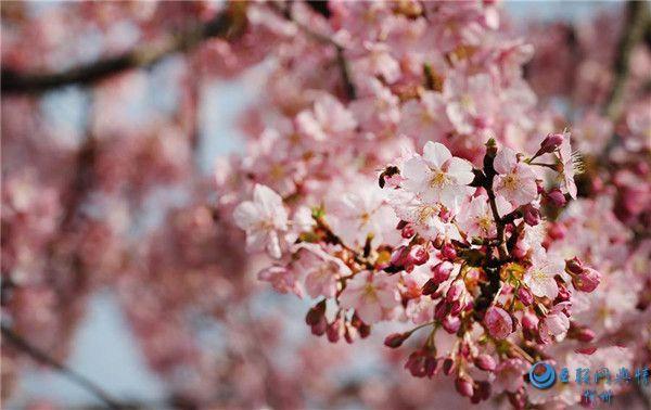 上海:樱花绽放春意浓[组图]