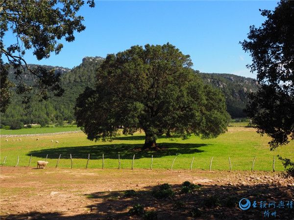 绿色香樟树图片